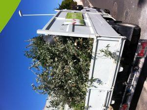 entretien des oliviers