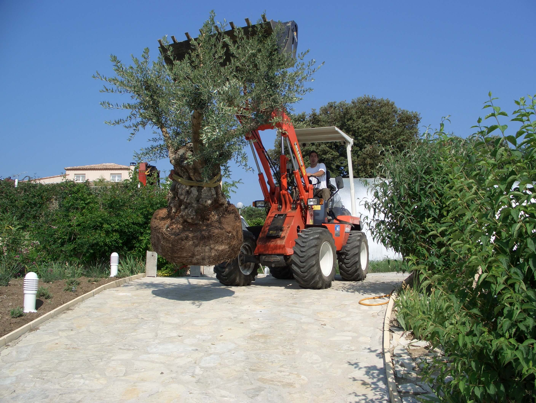 plantation olivier centenaire